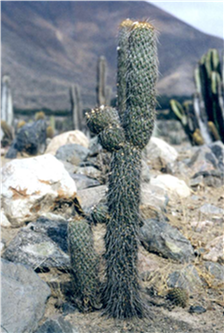 Austrocylindropuntia pachypus. A charasmatic species found in the valleys. Photo: Carlos Ostolaza